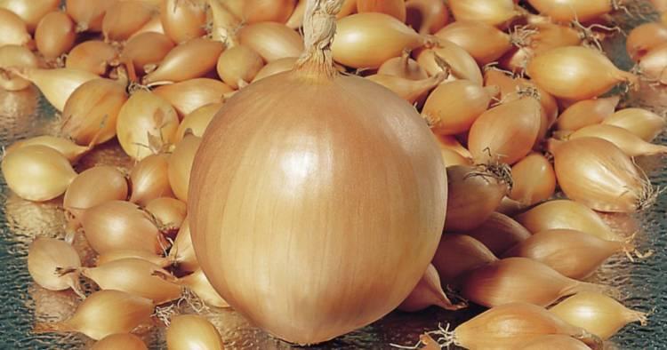 Лук стурон: описание сорта, выращивание, уход, отзывы