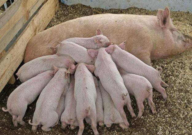 Домашняя свинья — википедия. что такое домашняя свинья