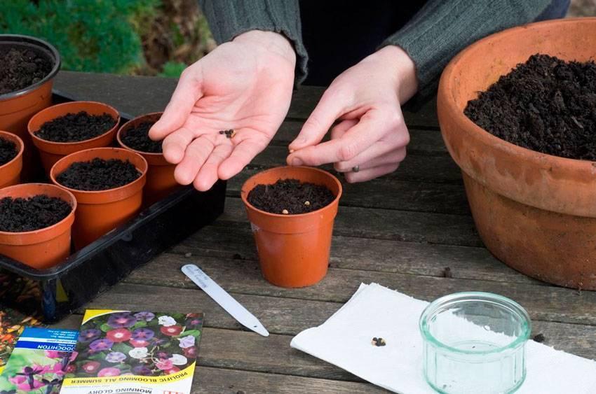 Тунбергия: посадка и уход, выращивание из семян + фото