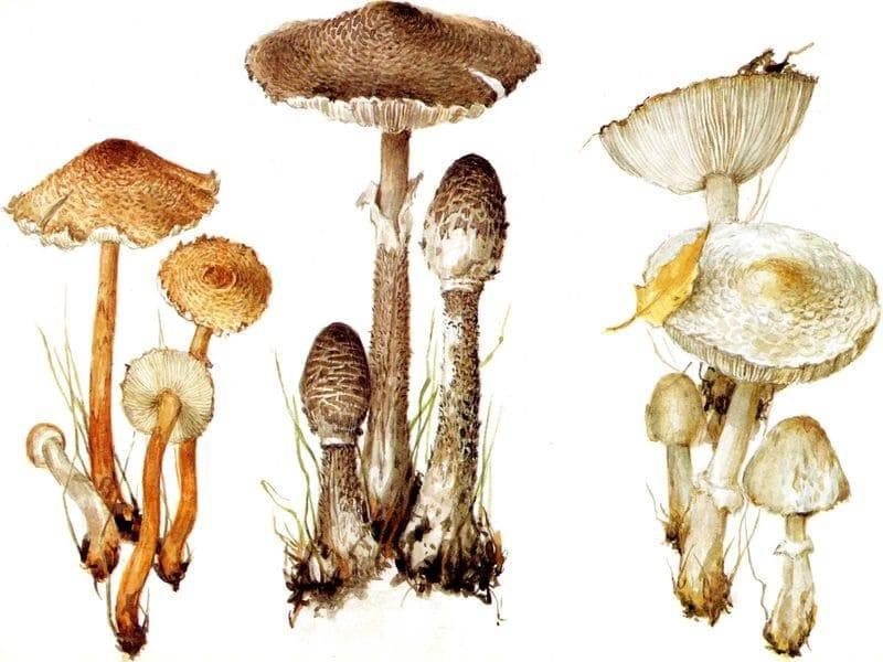 Съедобные или ядовитые грибы-зонтики: разновидности и описание
