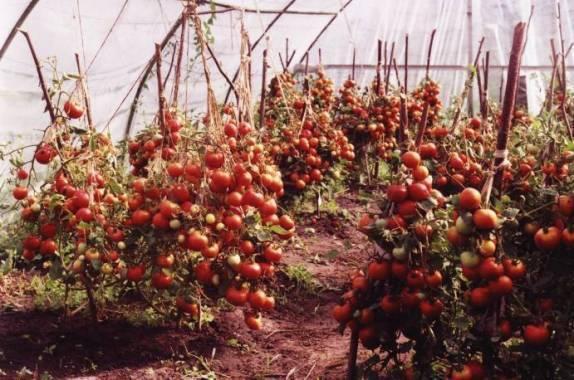 Описание сорта томата лабрадор: ранние и крупные