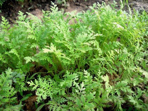 Фацелия: когда и как сеять, выращивание и польза