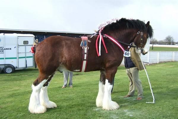 Самая большая лошадь в мире: порода, описание с фото, видео