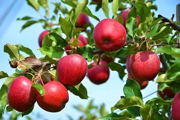 Яблоня памяти есаула: отзывы садоводов, описание сорта с фото