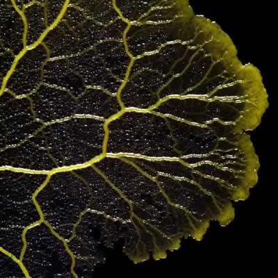 Примитив не приговор, или physarum polycephalum разумный