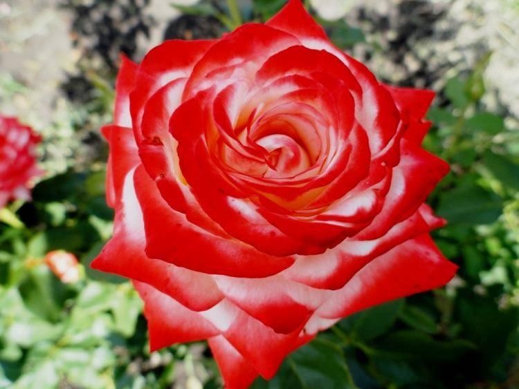 Роза императрица фарах — описание и выращивание сорта