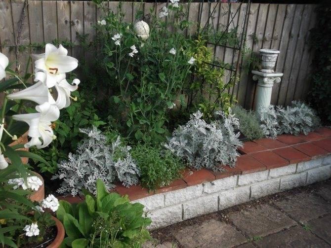 Цинерария: виды, посадка и уход, выращивание и обрезка