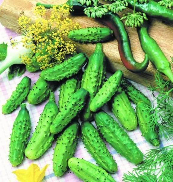 Огурец берендей f1: фото, описание сорта, отзывы, выращивание