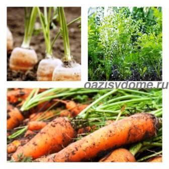 Чем подкормить морковь в июне, а также в июле и августе: как летом удобрять овощ в открытом грунте для его роста и какие ошибки можно допустить? русский фермер