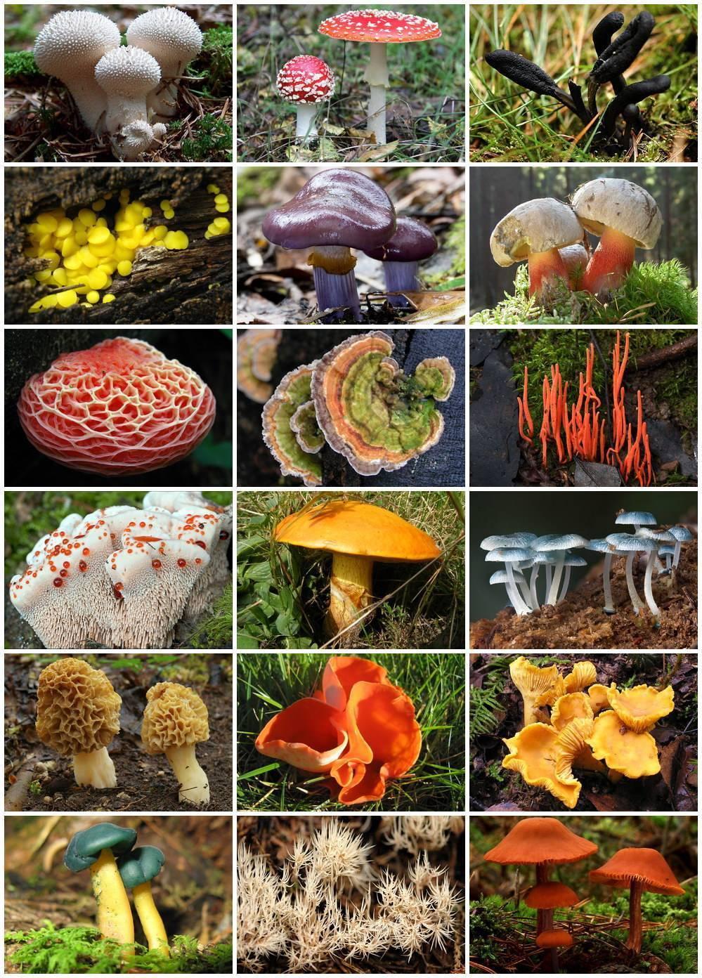 Хищные грибы: примеры, названия и фото