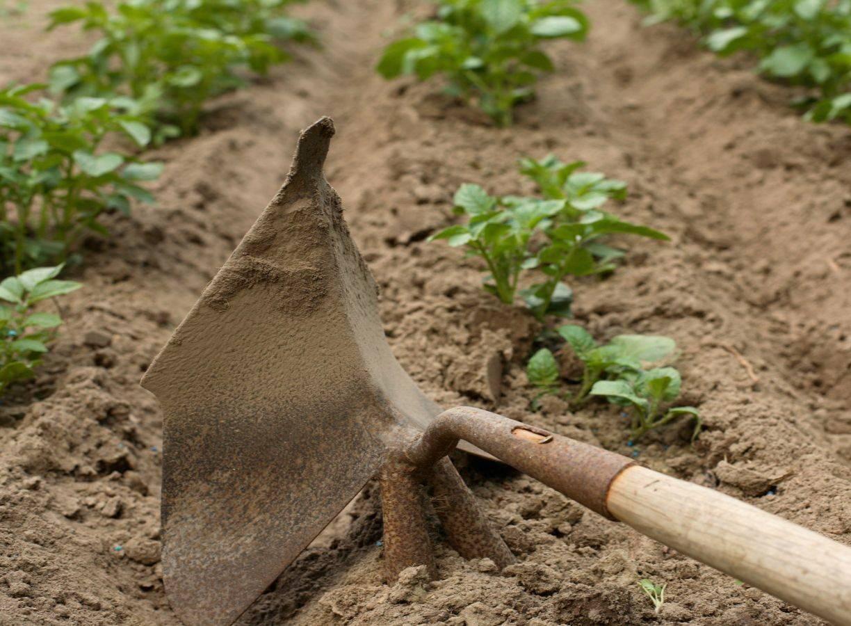 Хитрости окучивания картофеля – дачные дела