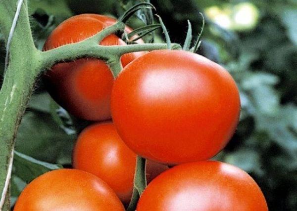 Гибридный сорт томата для теплиц – благовест