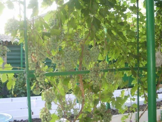 Виноград фрумоаса албэ: описание сорта, особенности ухода