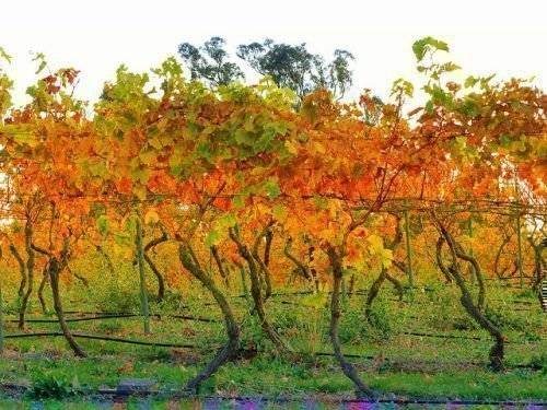 Обработка винограда медным купоросом осенью, весной и летом