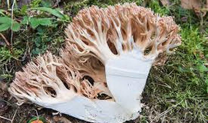 Коралловый гриб: +25 фото и описание, как выглядит?