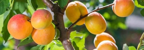 Абрикос персиковый: описание сорта, достоинства и недостатки, характеристика плодов, выбор места, технология посадки, особенности ухода, отзывы