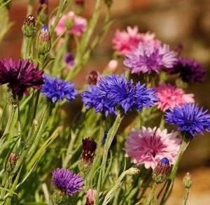 Василек садовый многолетний посадка и уход, сорта цветов с фото