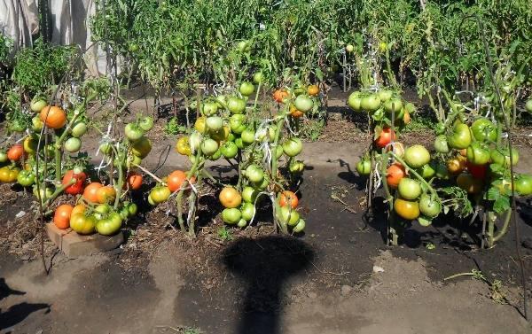 Посадка томатов: загущенная уплотненная, в банки из-под воды, необычная вертикально, сдвоенная, в траншеи, в сидераты, под пленку, в рулон, сухими семенами помидоров русский фермер