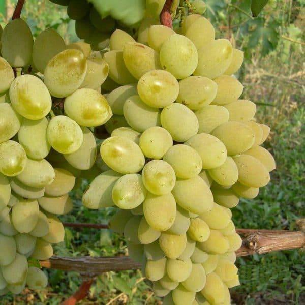 Виноград тимур - описание сорта, фото, отзывы