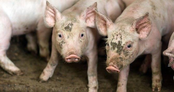 Ветеринария свиней | профилактика и контроль пролиферативной энтеропатии у свиней (илеиты)