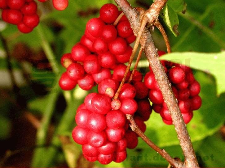 Сорт винограда кишмиш лучистый, описание сорта с характеристикой и отзывами, а также особенности посадки и выращивания, фото