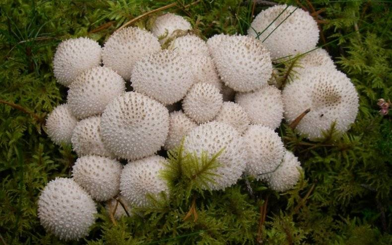 Особенности гриба дождевик грушевидный