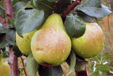 Характеристика сорта груши бессемянка - мыдачники
