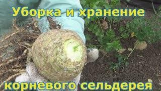 Сельдерей черешковый: выращивание и уход в открытом грунте и в домашних условиях
