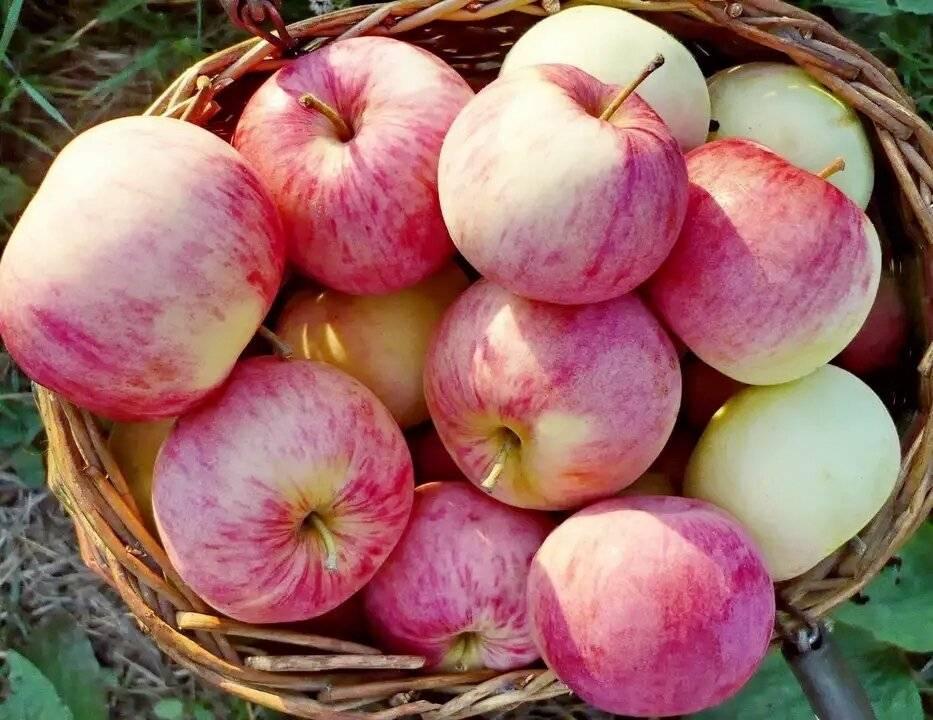 Яблони для средней полосы — сорта самых вкусных яблок