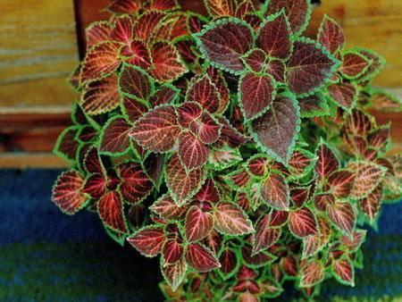 Колеус: посадка, уход и выращивание в домашних условиях