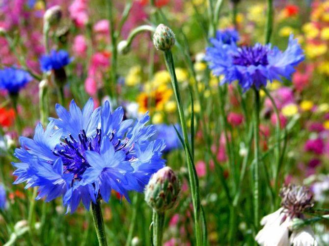 Василек садовый многолетний: описание, свойства, посадка и уход