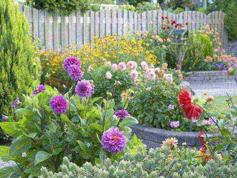 Как и когда сажать семена георгинов на рассаду в домашних условиях