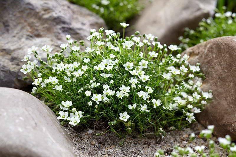 Мшанка шиловидная: посадка, выращивание и уход за растением