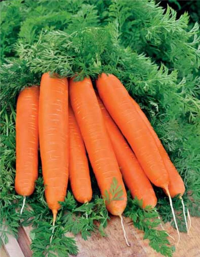 Лосиноостровская морковь: описание сорта и характеристика