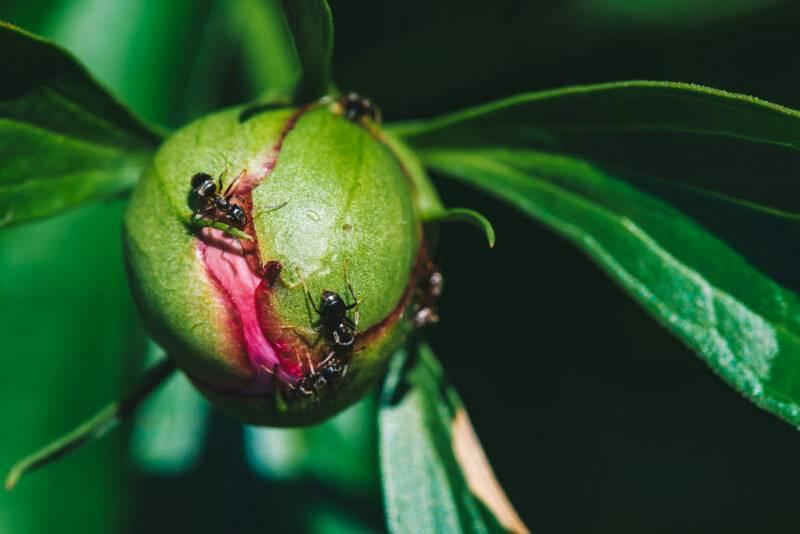 Способы лечения пионов от болезней и вредителей