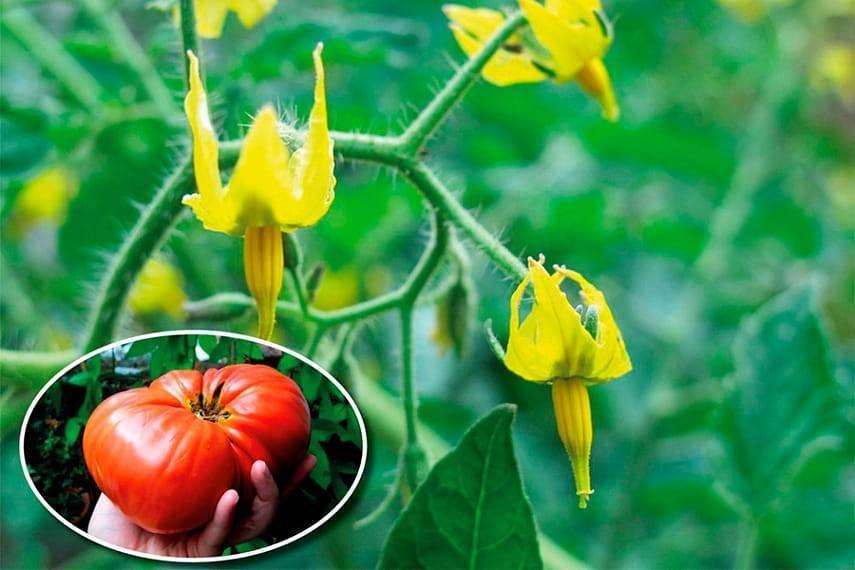 Как увеличить завязь на помидорах народными средствами