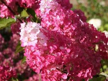 Гортензия fraise melba - theflowers