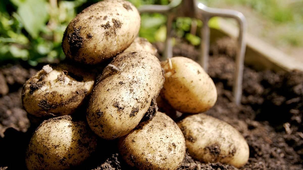 8 причин почему не цветет картофель.