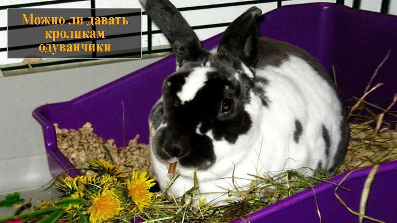 Можно ли давать кроликам одуванчики? - dc61.ru