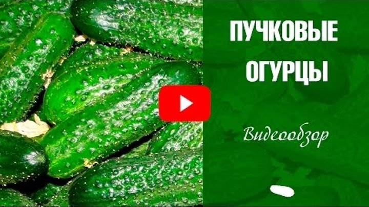 Лучшие сорта огурцов для засолки по россии и ее регионам