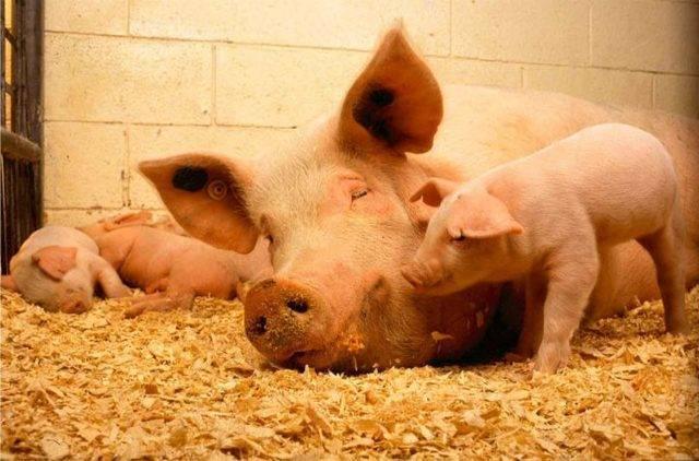 Бактерии для подстилки в свинарнике: преимущества и недостатки, виды и уход