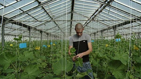 6 способов подвязки огурцов в теплице: как правильно выращивать растение
