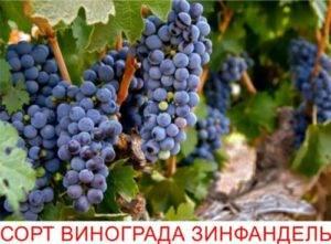 Описание и характеристика сорта винограда «левокумский»
