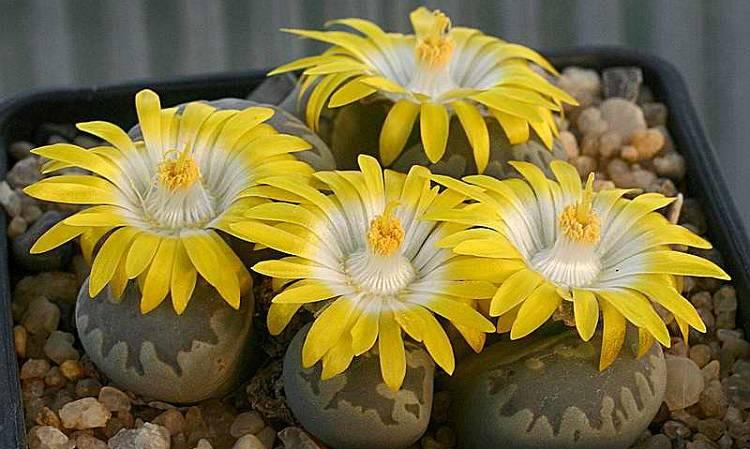 Выращивание литопсов в домашних условиях: фото + видео