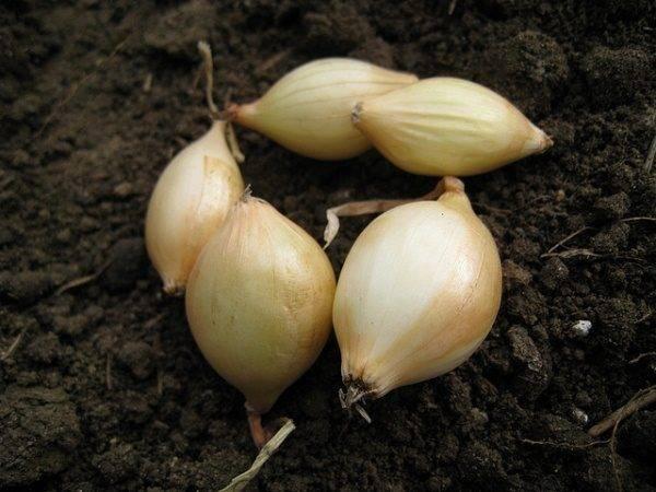 Описание сорта лука шетана. как его вырастить из семян и севка?