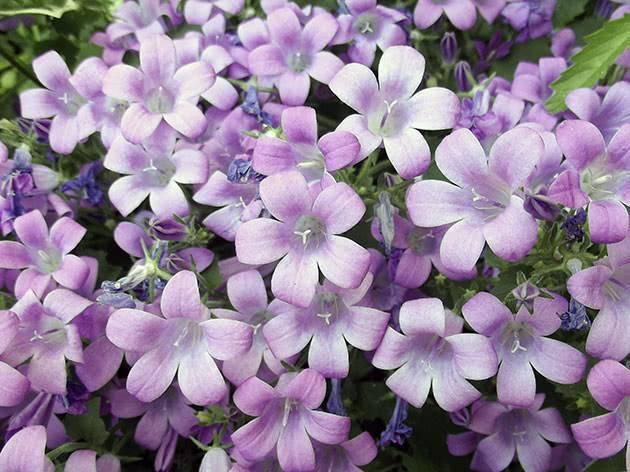 Цветы колокольчики: фото и описание видов растения, выращивание из семян и уход за колокольчиками