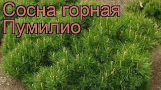 Сосна горная пумилио — особенности выращивания, посадка, уход и применение в ландшафтном дизайне (95 фото)