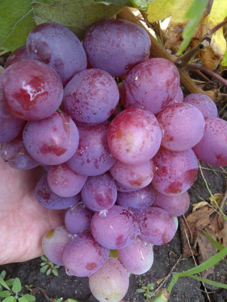 """Подробное описание столового сорта винограда """"фавор"""""""