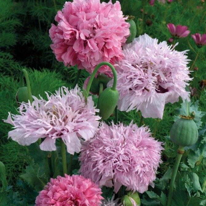 Про посадку и уход за многолетним декоративным цветком маком на садовом участке