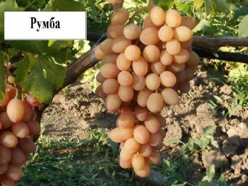 Виноград румба: селекция, описание, посадка и уход, достоинства, отзывы